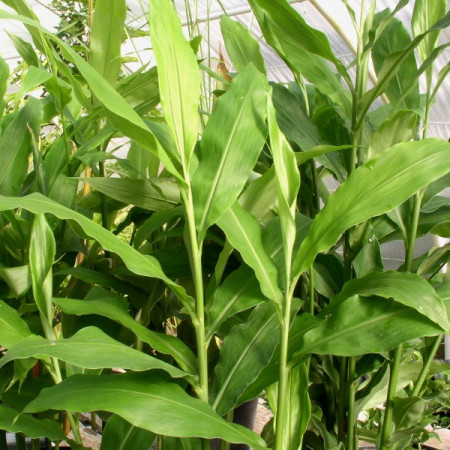 Plant De Gingembre Japonais Mioga Zingiber Mioga